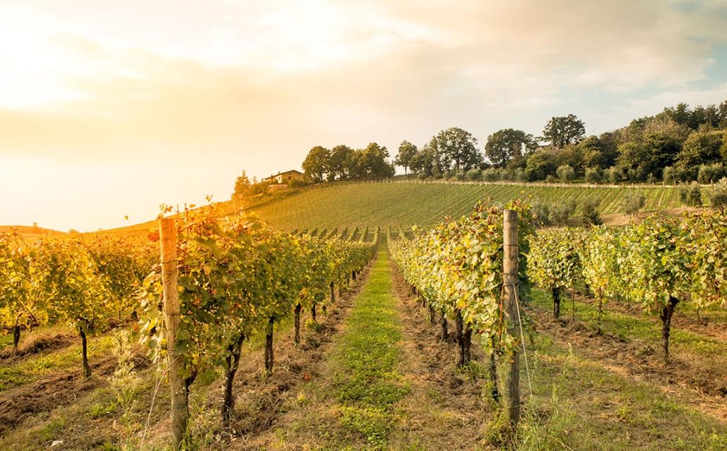 Quels sont les résultats des expérimentations de vignes semi-larges?